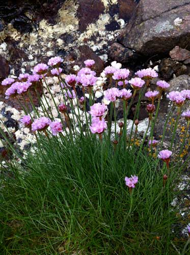 Armeria-sea-pinks