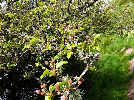 apple-tree-halfway-up-Mote-of-Mark