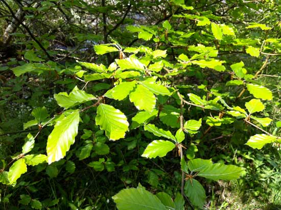 beech-leaves-May-Rockcliffe-foreshore