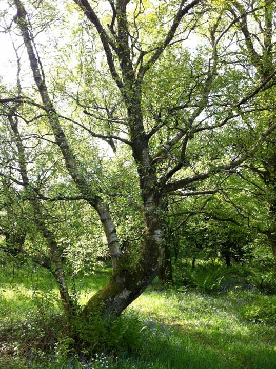 birch-tree-light-shade-1-Rockcliffe