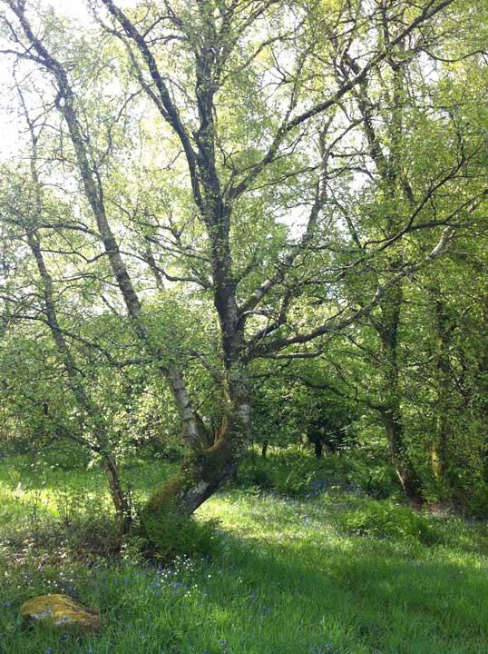 birch-tree-light-shade-2-Rockcliffe