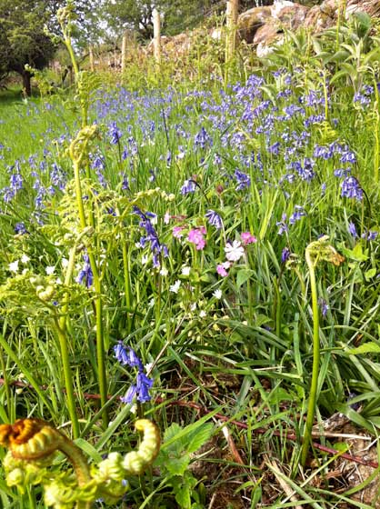 bluebells-and-pink-campion-at-Mote-of-Mark