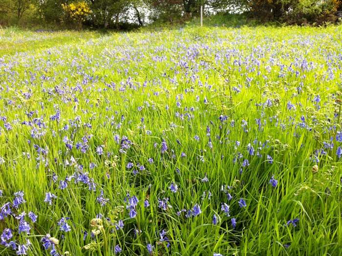bluebells-en-masse