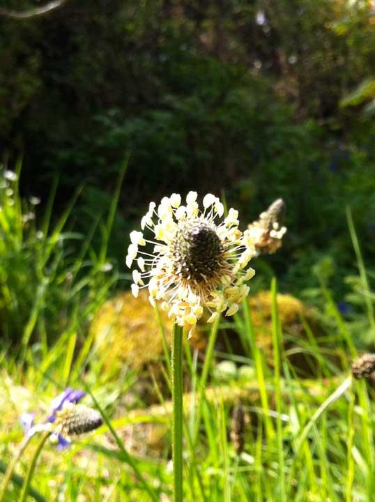 grass-seedhead-Rockcliffe