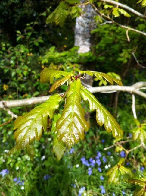 oak-leaves-May-Rockcliffe