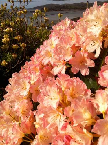 peach-azalea-in-May