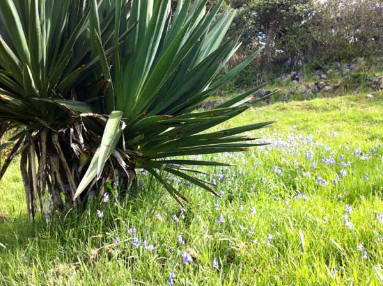 phormium-tenax-and-bluebells-in-May
