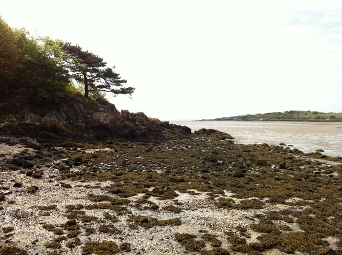 pine-tree-on-the-Auchenvhin-foreshore-Rockcliffe
