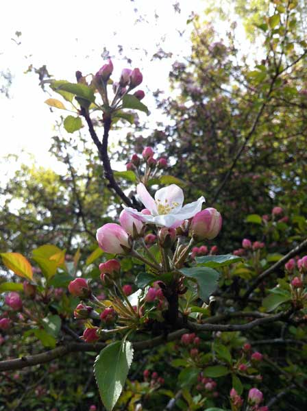 pink-apple-blossom-Rockcliffe