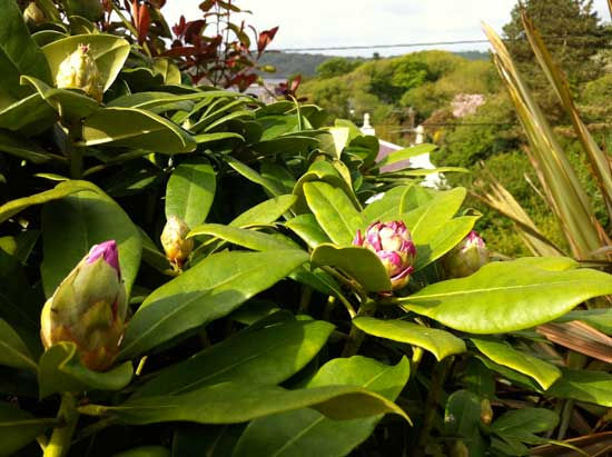 rhododendron-bud-in-May