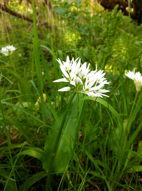 wild-garlic-Rockcliffe