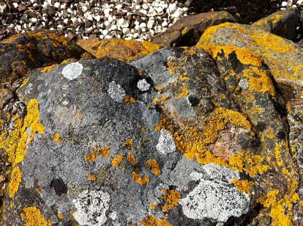yellow-and-white-lichen