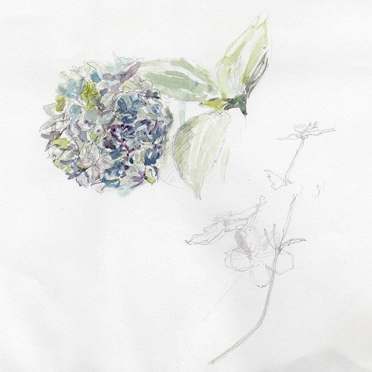 Hydrangea-watercolour-sketch-web