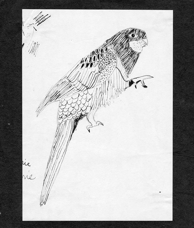 Parrot-bird-B&W-pen-drawing-from-primary-school-web