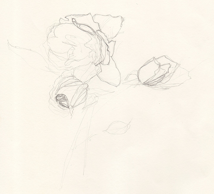 Rose-pencil-sketch-AC-web