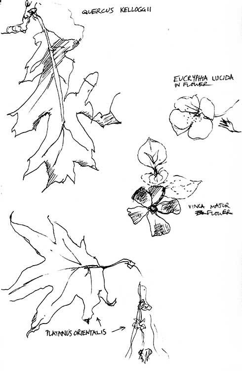 Quercus-and-Platanus-sketches-web