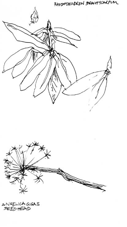 Rhododendron-and-Angelica-sketches-web