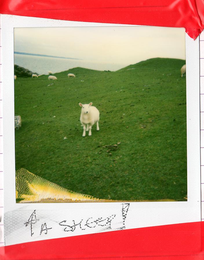 A-sheep-at-Clachtoll